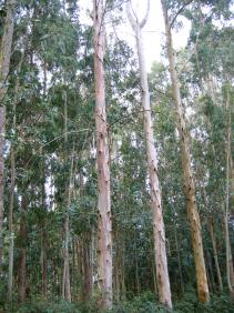 1 eucalyptus
